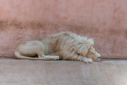 Lion sleeping in the zoo. The Sleeping Lion