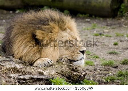 Lion sleeping on a rock, closeup