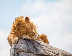 lion sleeping on rock in wild to escape insects