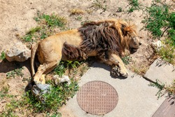 Lion sleeping on the ground  . Tired Male lion