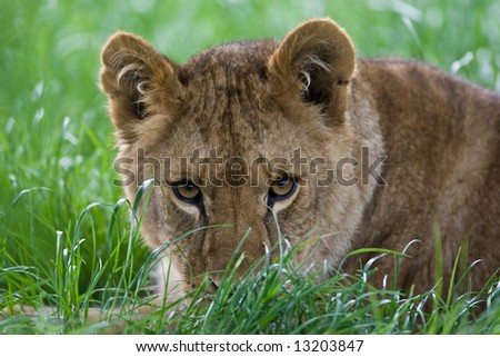 Lioness Stalking In Grass