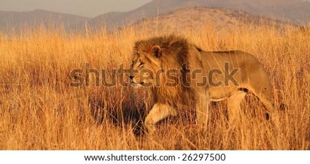 Lion stalking through long grass - stock photo
