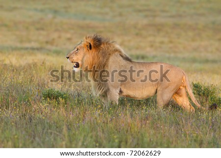 Lion stares across grassland in late afternoon light