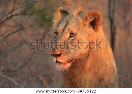Lion staring into bush