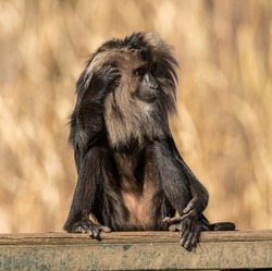lion tailed macaque sitting on a board scratching head, zoo animal