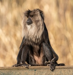 lion tailed macaque sitting on a board, zoo animal