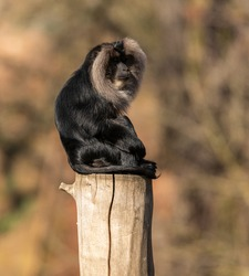 lion tailed macaque sitting on top of a log from side rotating head, zoo animal