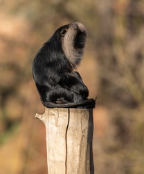lion tailed macaque sitting on top of a log from side, zoo animal