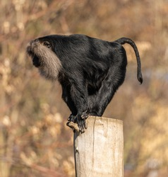 lion tailed macaque standing on the edge of a log, zoo animal