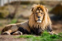 Lion takes a sunbath in the savannah