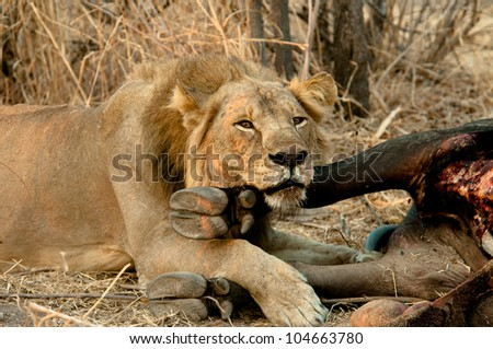 Lion taking a time out from a big feast.