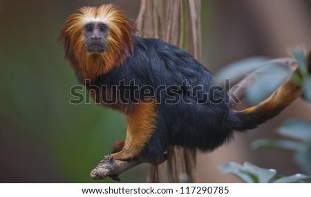 Lion tamarin - stock photo