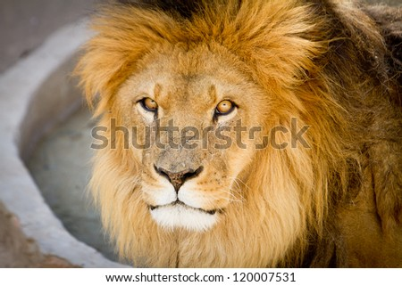 Lion the king of the jungle close up portrait