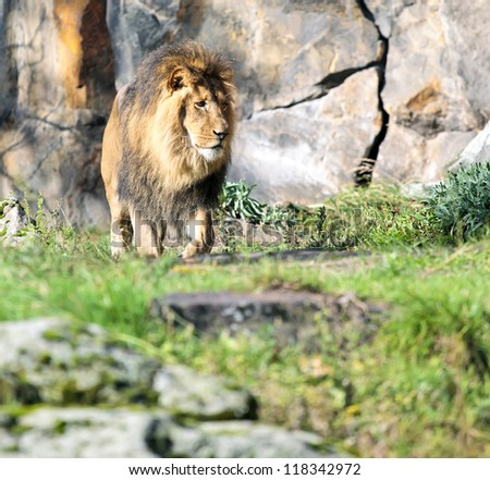 Lion walks - stock photo