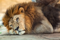 Lion was lying on the ground.