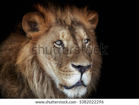 Lion, wild cats, big cats  #1082022296