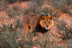 Lion with black mane, big animal in the habitat. Face portrait of African dangerous cat. Kgalagadi lion in dark morning, Botswana. Wildlife scene from nature, Kgalagadi, Africa.