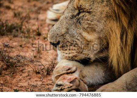 lion with bloody paw #794476885