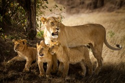 Lion with cubs, lioness with baby lions in the wilderness