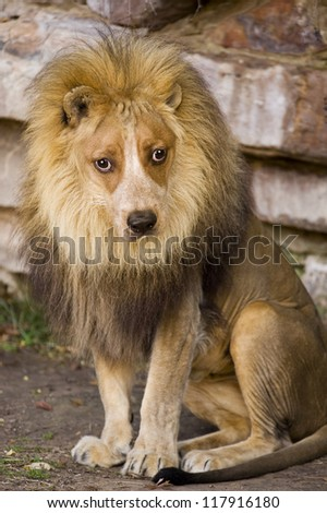 Lion With Doggy Face.