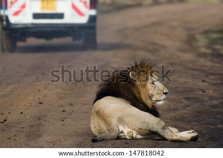 Lion with safari car