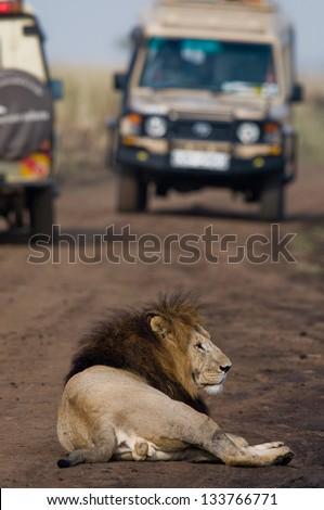 Lion with safari cars