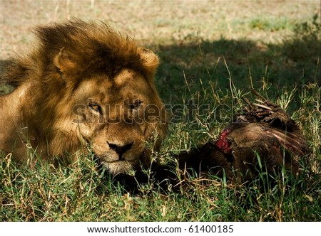 Lion with victim. The lion with victim in a morning sunlight lies on a green grass.