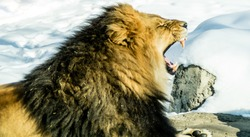 Lion yawning and showing off his teeth. Calgary Zoo, Calgary, Alberta, Canada
