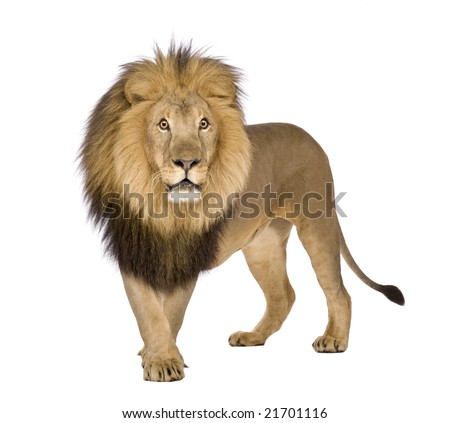 Lion (8 years) - Panthera leo in front of a white background - stock photo