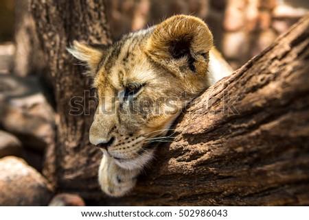 Lionbaby #502986043