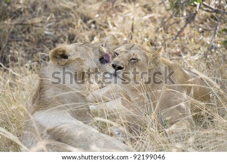 Lioness and cub bond in the Masai Mara