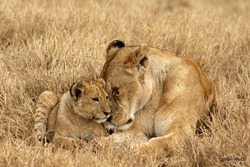 Lioness and Cub cuddling together