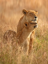 Lioness and her cub in the golden light of masai mara