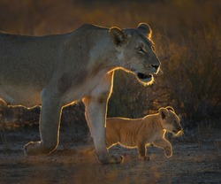Lioness and her cub walking early in the morning towards the water to drink water from water hole a trans frontier nature park. Sun from behind lion provide back light effect,