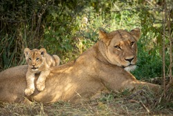 Lioness and her lion cub lying together in green bush in Savuti in Botswana