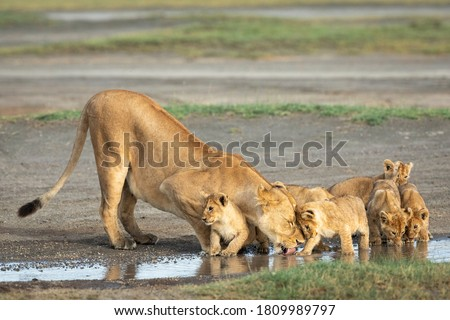 Lioness and her small lion cubs drinking water from a puddle in Ndutu in Tanzania Photo stock ©