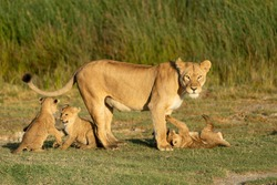 Lioness and her three baby lions playing on green grass in golden afternoon light in Ndutu Tanzania