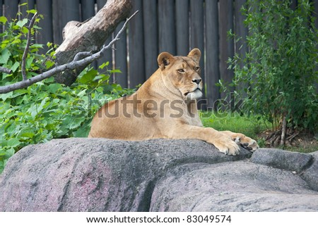 Lioness at Rest:  A mature African Lioness (Panthera leo) remains alert while resting on a rocky outcrop