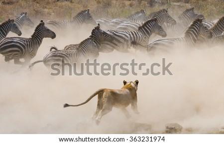 stock photo lioness attack on a zebra national park kenya tanzania masai mara serengeti an excellent 363231974 - Каталог — Фотообои «Животные»