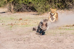 Lioness chase, lioness starting chase on warthog