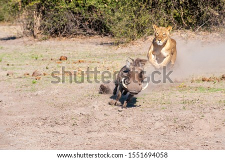 Lioness chase, lioness starting chase on warthog Сток-фото ©