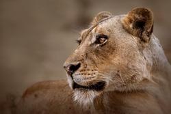 Lioness close up portrait, Kruger National  Park, South Africa