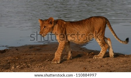 Lioness cub panthera leo