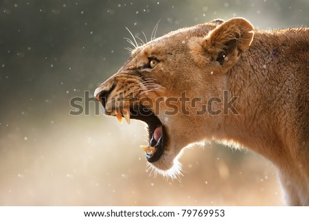 Stock Photo Lioness displays dangerous teeth during light rainstorm  - Kruger National Park - South Africa