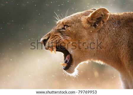 Stock Photo Lioness displays dangerous teeth during light rainstorm  - Kruger National Park - South Africa