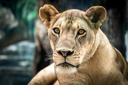 Lioness, Female lion