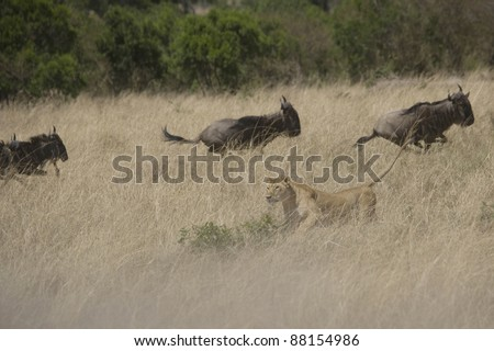 Lioness hunting Wildebeest in the Masai Mara