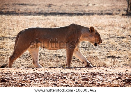 lioness in luangwa national park zambia