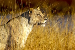 Lioness in perfect sunlight in Pilansberg national park, South Africa