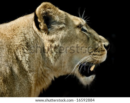 lioness in profile against black background